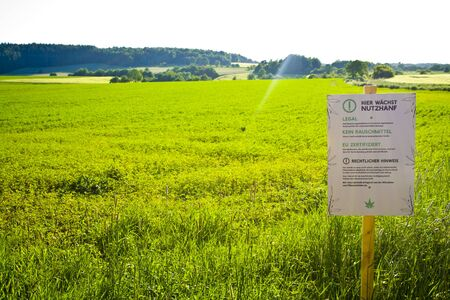 A hemp field in Hesse, m Germany. Legal hemp cultivation for medicine or food.
