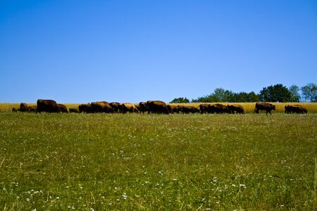 Farming Ranch Angus and Hereford Cattle in Bavaria, Germany Stock Photo