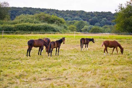 Horse herd on the pasture in Hesse, Germany Reklamní fotografie