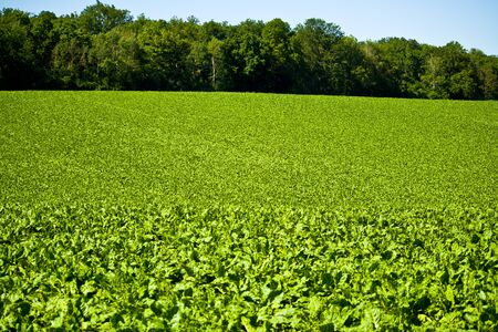 junge grüne Blätter Rote Beete Spitzen während des Sommers. Fotografierte Nahaufnahme eines landwirtschaftlichen Feldes in Bayern, Deutschland