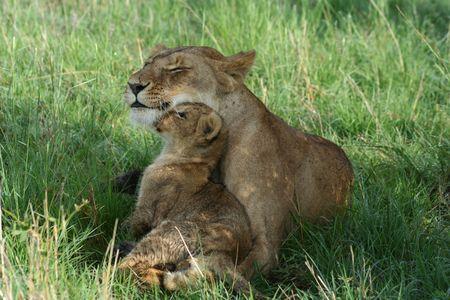cachorro: Cachorro de leona y compartir un momento de licitaci�n