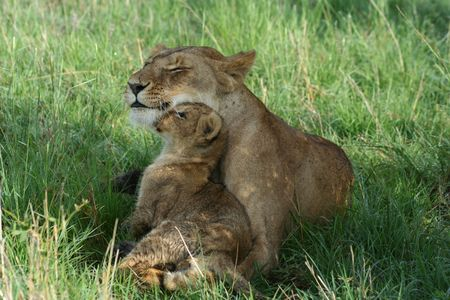 lions: Lioness and cub sharing a tender moment Stock Photo