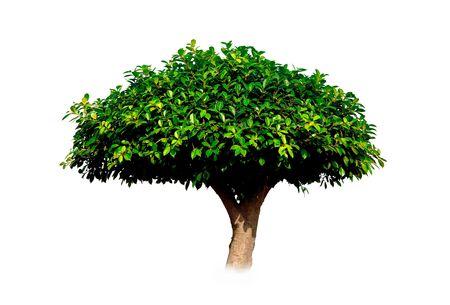 banyan: �rbol de banyan verde corto aislado sobre fondo blanco