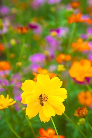 A bee working on fresh yellow flower and colorful garden photo