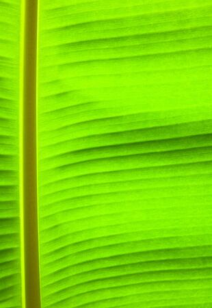 banana palm tree green leaf close-up background  photo