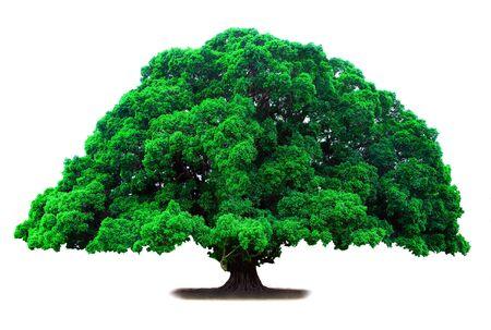 longevity and great old green tree photo
