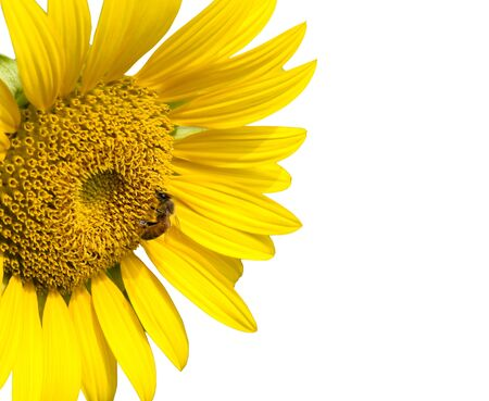 Bee on sunflower and isolated on white background photo