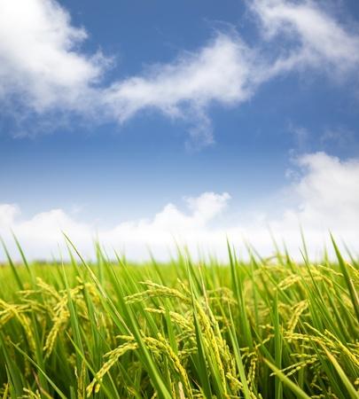 구름 배경으로 패 디 쌀 필드 스톡 콘텐츠
