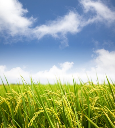 paddy: paddy rice field with cloud background Stock Photo