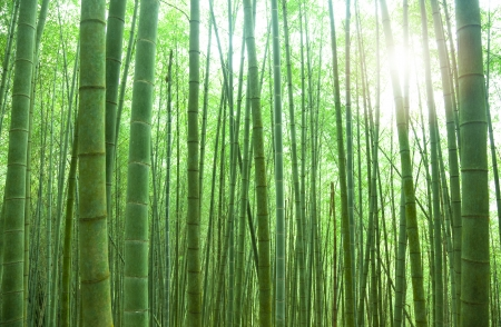 green bamboo forest with sunlight Stock Photo