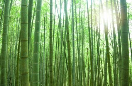 arboleda: los bosques de bambú verde con la luz solar