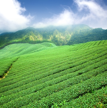 green tea plantation with cloud in asia  photo