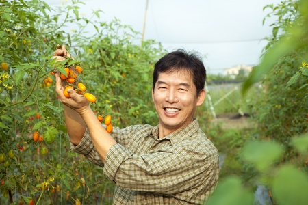 grower: middle age asian farmer holding tomato on his farm