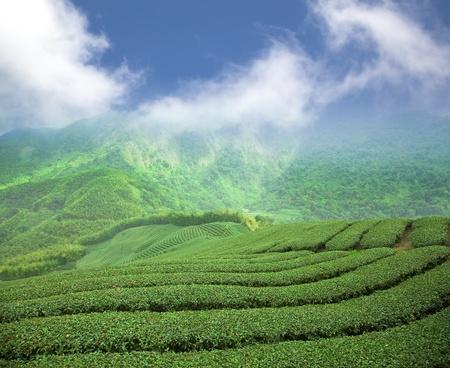 tea plantation on the high mountain valley photo