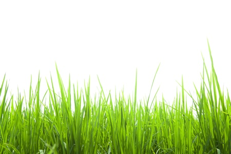 fresh green grass isolated on white photo