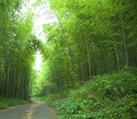 bamboo forest: road and green bamboo forest
