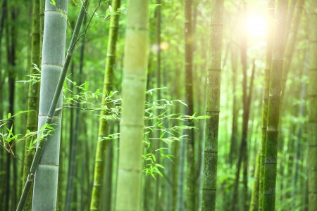 Bamboo forest with morning sunlight photo