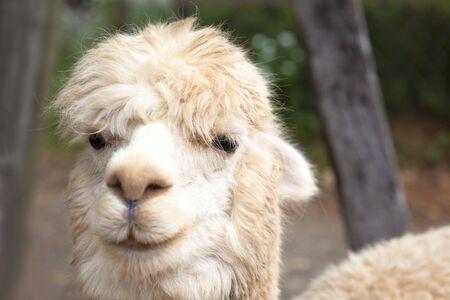 close up of  alpaca  face photo