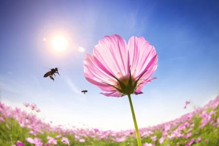 miel de abeja: abeja y margaritas de color rosa en el fondo de la luz del sol