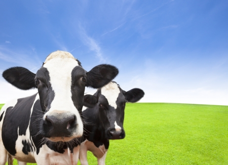 closeup cow face: Cow on green grass field with cloud background
