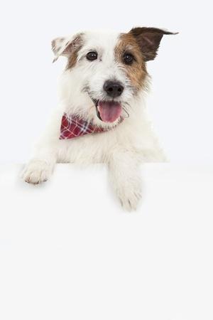 perros graciosos: jack russell terrier con la cartelera Foto de archivo