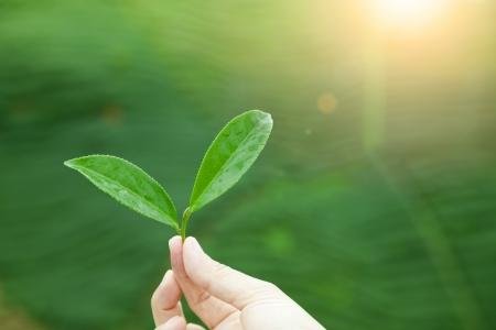 teepflanze: Hand holding Teeblatt und Sonnenaufgang Hintergrund Lizenzfreie Bilder