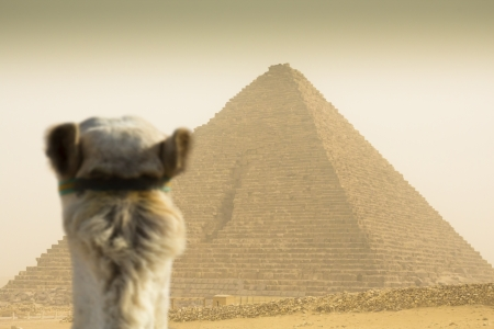 cheops: camel watching the Cheops pyramid  in sandstorm