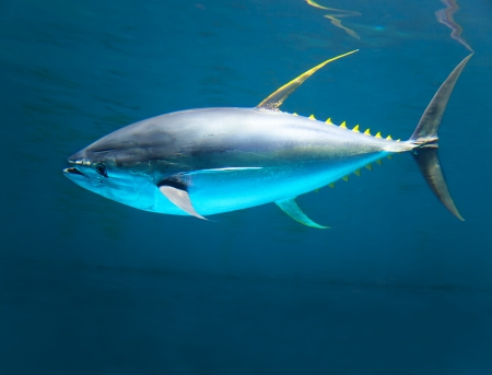 raw fish: yellow gin tuna fast moving in the ocean Stock Photo