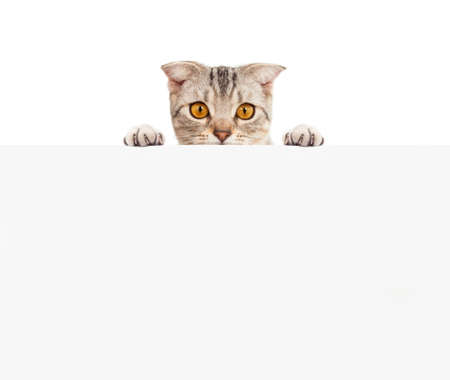 Pretty cat with blank board Stock Photo - 23572778