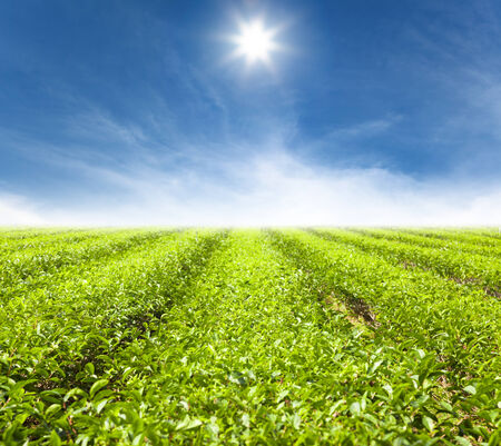 tea garden: green tea garden with sunlight background
