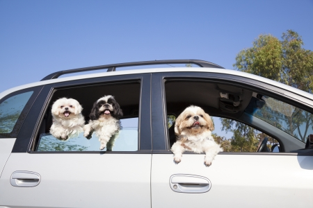 dogs family enjoying in the car  photo