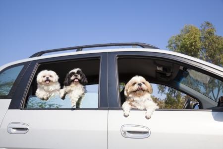 psí rodina se těší v autě