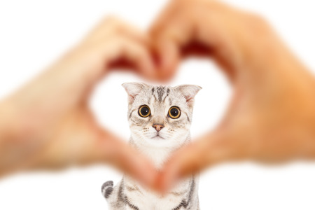 human hands make heart shape and cute cat  photo