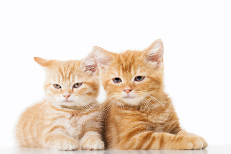 Two little Ginger british shorthair cats over white background photo