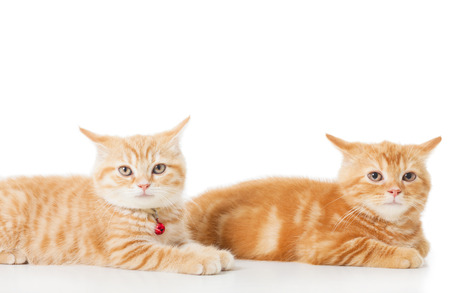 orange cat: Two little Ginger british shorthair cats over white background
