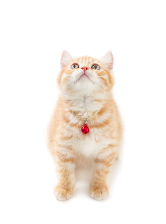 Littler Ginger british shorthair over white background photo