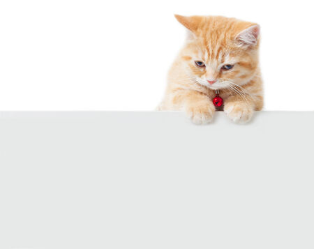 little Ginger british shorthair cats with white board photo
