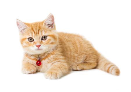 흰색 배경 위에 작은 생강 영국 쇼트 헤어 고양이