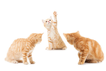 group of little Ginger british shorthair cats over white background photo