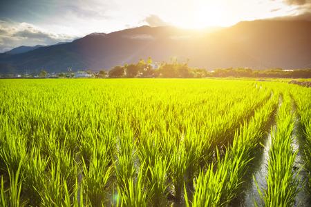arroz: campo de arroz verde con las nubes y las montañas de fondo Foto de archivo