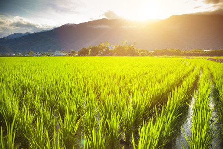 green rice field with cloud and mountain background Stock Photo