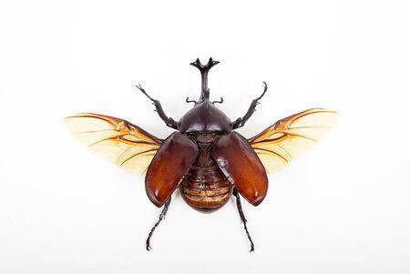 horn beetle: big horn beetle bug isolated on white background