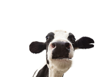 closeup cow face: closeup  cow head isolated on  white background Stock Photo