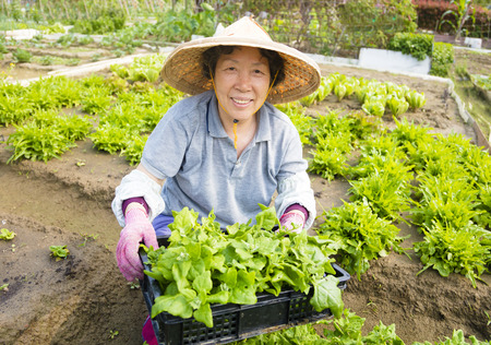 asia women: happy female Senior farmer working in vegetables farm