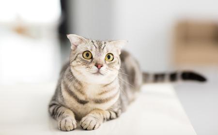 furry animals: Gato gris mirando hacia arriba en la sala de estar Foto de archivo