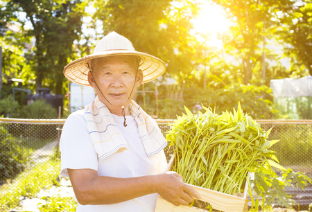chinese spinach: happy senior farmer working in vegetable farm Stock Photo