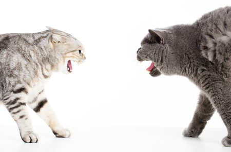 two cats in a conflict and isolated on white  Stock Photo