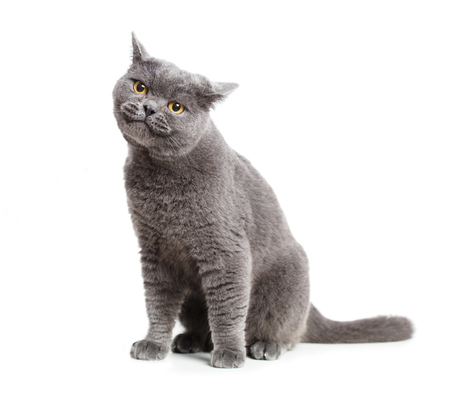 smiling British gray cat isolated on white  Stock Photo