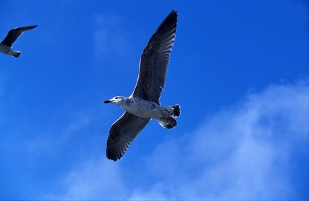 Seagull flying overhead against blue sky with both wings outstretched as it glides on the thermals and air currents above the ocean