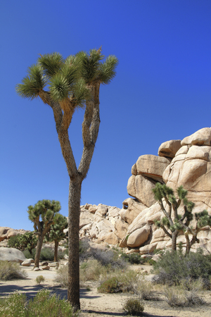Joshua Tree in the Hidden Valley with Blue Sky photo